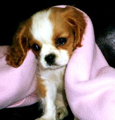 Cavalier king charles spaniel is quite large for a toy breed & it's small for a spaniel.