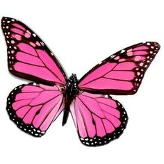 Pink butterfly. He;s a male! Ask me how I know!