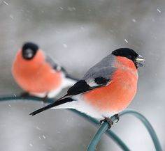 I wish I'd seen a bullfinch during my Big Garden #Birdwatch. Oh well, there's always next year!