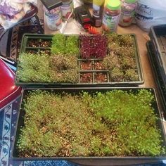 Some sprouts around day 4 #sprouts #microgreens by mcgearhead