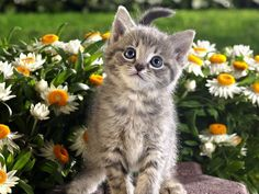 Kitten and spring flowers!
