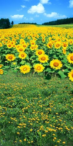 Vast expanse of sunflowers Photography Backdrop Beautiful Nature Pictures, Beautiful Nature Wallpaper, Amazing Nature, Beautiful Landscapes, Beautiful Flowers, Sunflower Photography, Nature Photography, Sunflower Pictures, Most Beautiful Gardens