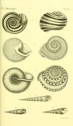 "https://flic.kr/p/e8uuuf | n118_w1150 | Bibliothèque conchyliologique.. Paris,A. Franck,1845-1846.. <a href=""http://biodiversitylibrary.org/page/12109196"" rel=""nofollow"">biodiversitylibrary.org/page/12109196</a>"