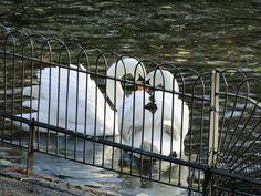 Swans, London