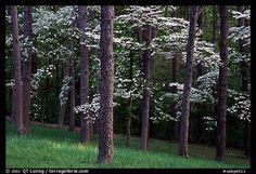 Dogwood trees amongst the pines