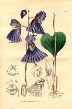 """Lentibulariaceae - Utricularia Humboldtii.jpg Utricularia humboldtii is a large perennial carnivorous plant. Peter Taylor lists it as either an """"aquatic-epiphyte"""", a subaquatic or a terrestrial species. U. humboldtii is endemic to South America"""