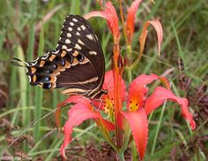 Palamedes Swallowtail (Papilio palamedes) - An Eastern Coast Butterfly - When seen, the yellow stripe on the underside makes it easy to identify. This one is using its long proboscis to sip nectar from a Pine Lily (Lilium catesbaei).