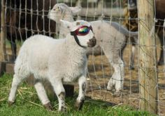 Little Lamb Wears Special Goggles to Protect His Sensitive Eye - Neatorama