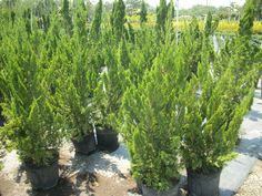 Tularosa, or Hollywood, juniper - The artistic appearance of the rustic, twisted form makes this a useful accent. Does particularly well in coastal environments. Easily adapts to specially trained topiary shapes. Evergreen. Z5-9