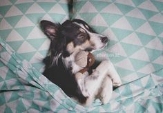 Sleeping Mogwai- some tips about how to teach your dog difficult poses (Dutch article) | Border Collie | DOGvsion.be | dog photography