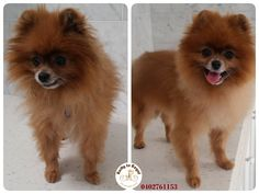 Versia, 7 years young Pomeranian. Full Groom. Website: https://rattytoregal.wixsite.com/rattytoregal Facebook: https://www.facebook.com/rattytoregal/