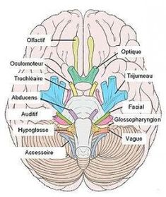 There are 12 pairs of cranial nerves. All of them arise from brain and brain stem.Learn about all the 12 cranial nerves, their anatomy and functions. Cranial Nerves Anatomy, Nerve Anatomy, Human Anatomy And Physiology, Anatomy Organs, 12 Cranial Nerves Mnemonic, Cranial Nerves Function, Human Brain Anatomy, Nerf Spinal, Nursing School Notes