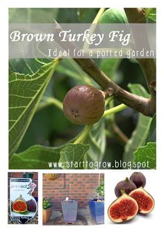 Did you know you can grow figs in a pot? Great idea for a small garden!