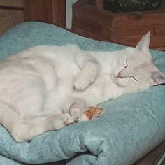 ようやくホットカーペットを上げたのですが、畳んでおいたところが居心地良かったようです… #愛猫 #猫 #寝仔 #mylovelycat #すやすや #catstagram