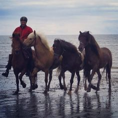 50 vind-ik-leuks, 3 reacties - Steinunn Guðbjörnsdóttir (@exploring_iceland_horseback) op Instagram: 'Beach ride in Iceland #horsesoficeland #icelandichorse #ridinginiceland #beachride…'