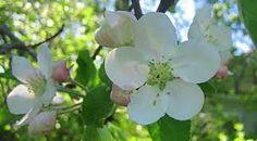 Kuvahaun tulos haulle omenapuun kukat