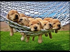 Items similar to Adorable Golden Retriever - Yellow Lab Puppies in Hammock on Maui, Hawaii Photograph/Digital File; Photography by Danielle Hattori on Etsy Animals And Pets, Baby Animals, Funny Animals, Cute Animals, Cute Puppies, Dogs And Puppies, Yellow Lab Puppies, Tier Fotos, Cute Creatures