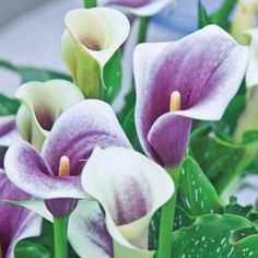 Picasso Calla Lily. I think these would look beautiful in the front.