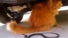 By Gif Finder. Cat's tail outfits snake...and cat is not even giving a hoot!