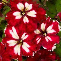 RARE cloches Frostfire Calibrachoa Petunia Annuelle Fleurs Bonsai 100 Pcs Graines New