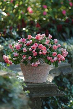 Vaso de mini rosinhas