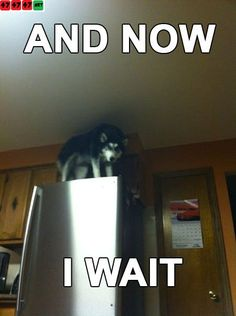 hahaha - Siberian Husky << ROFLOL AHMAIGAWD I would literally piss myself if I was like, perusing the fridge and looked up; and oh is it a cat? NO it's a full-grown SIBERIAN HUSKY. Chilling on top of my fridge. Husky Humor, Husky Quotes, Funny Husky Meme, Dog Quotes Funny, Funny Dogs, Funny Animals, Cute Animals, Animal Funnies, Dog Memes