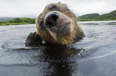 Brown bear scratching its ear,  Brown bears hunt salmon in Russia's Far East by photographer Michel Roggo.