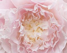 Peony Photography - Botanical Fine Art Photograph of Peony Flower, Large Wall Art, Home Decor - Smooth colours - Flowers Pink Peonies, Pink Roses, Pink Flowers, Pink Petals, Tea Roses, Exotic Flowers, Yellow Roses, Rose Pastel, Pale Pink