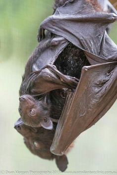 Black flying fox with pup
