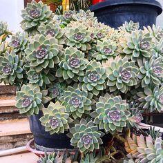❤️#sedum #graptoveria #succulents #succulent #sukulent #cactus #kaktus #plantlife #gardening #greens #flowersturk #flowerslovers #teak #blooms #desert #desertlife #urbanjungle #urbangarden #indoorplants #indoor #bahçe #çiçek #bodrumlife #turgutreis Succulent Gardening, Succulent Pots, Garden Plants, House Plants, Air Plants, Growing Succulents, Cacti And Succulents, Planting Succulents, Planting Flowers