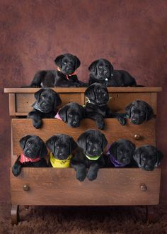 Adorable black lab puppies