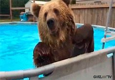 Cute grizzly bear jumps into swimming pool. #beer #grizzly #gif #SwimmingPool #chillout