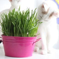 Cat grass (Dactylis glomerata) – this is great for chewing on to aid digestion. It is also loved by dogs, rabbits, and guinea pigs.