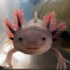 Axolotl, a famous species of salamander that fails that develop past the neotenic stage. It's evolution provides an interesting example to question what is needed in normal development, and is used widely in medical research for its ability to regrow it's lost limbs!