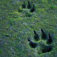 wolf-tracks, VA