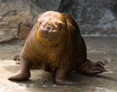 walrus pup | BetterLesson