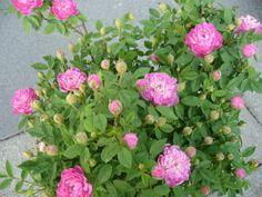 Burgundian Rose