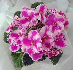 100 pcs/bag african violet seeds Moonstone (Lebetskaya) bonsai flower seeds Garden Plant pot Perennial Herb seeds
