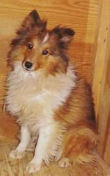 Mandy is an adoptable Shetland Sheepdog Sheltie Dog in New Albany, IN. Mandy is a sweet 3 yr old girl. She is from a Midwest puppy mill. That means she needs lots of socialization, understanding and...