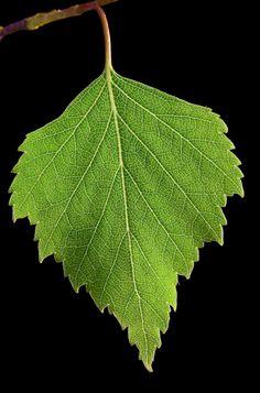 by Ann-Kristina Al-Zalimi, leaf, birch, koivu, birch leaf, koivun lehti, koivunlehti, Betula pendula, flora, tree, björk