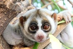 Slow Loris, South East Asia Slow lorises are a group of several species of nocturnal primates. Found in SoutheastAsia & bordering areas, they range from Bangladesh & India, Philippines in the east, China & of Java Alive Magazine, Slow Loris, Rattan Armchair, Zoology, Life Science, Bengal, Southeast Asia, Animal Pictures, Cuddling