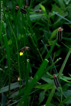 Female fireflies perched at twilight
