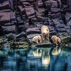 """78.1k Likes, 498 Comments - Paul Nicklen (@paulnicklen) on Instagram: """"A female polar bear and her two cubs, just seven months old, stand along the basalt shores of…"""""""