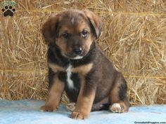 Timmy, bernese mountain dog mix puppy for sale from Airville, PA - Greenfield Puppies