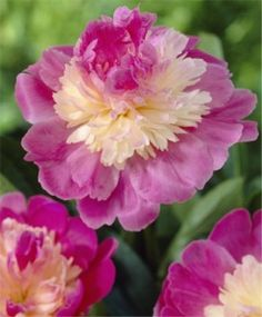Selections from the John Scheepers Beauty from Bulbs Dutch Flower Bulbs Catalog