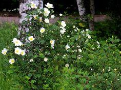 Image result for Kaunis kuva valkoisesta juhannusruususta
