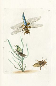 Shaw & Nodder Antique Insect Prints 1795