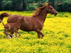 An Arabian mare and her foal run through a field of buttercups in Louisville, KY.