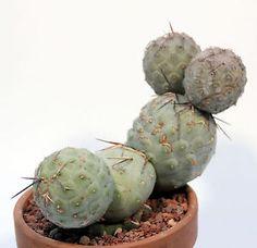 tephrocactus geometricus  grafted pot 10Ø no Ariocarpus avonia adromischus