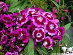 Oeillet du poète, Dianthus barbatus